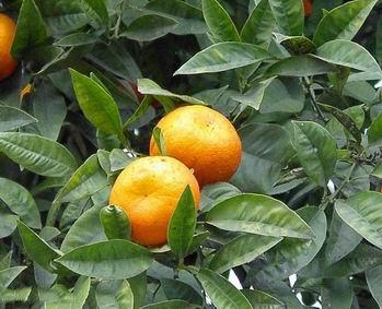 citrus-aurantium