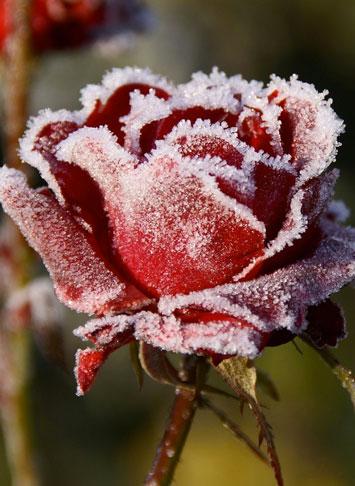 Rosa-d'inverno