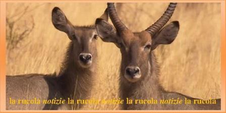 antilope maschio e femmina