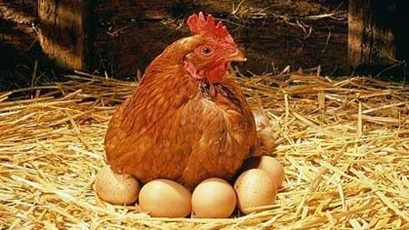 gallina che cova