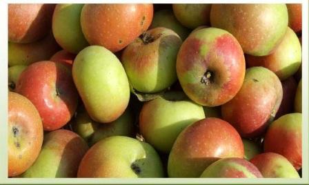 mela rosa dei sibillini