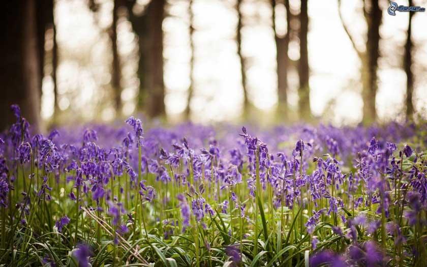 prato-di-lavanda,-fiori-viola-205216