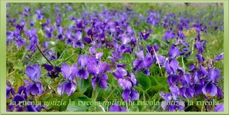 profumo di viole