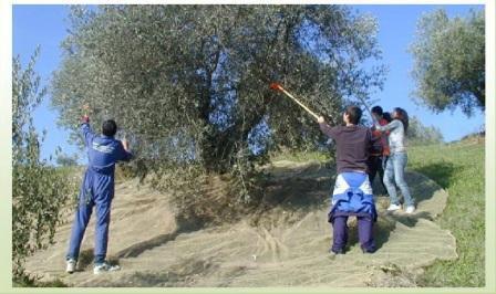 raccolta-oliva