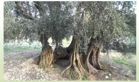 tronchi di ulivo